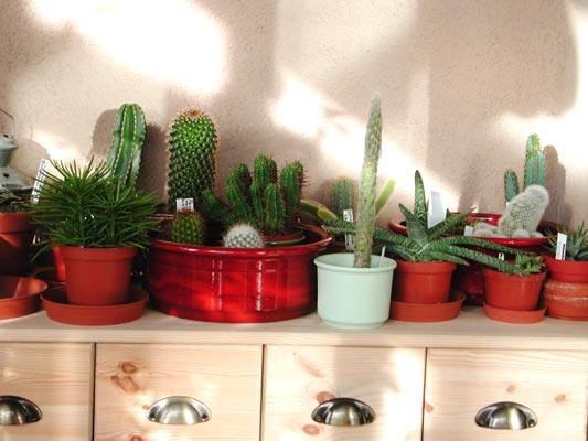 Indoor cacti collecttion