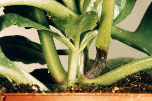 Phytophthora Kalanchoe