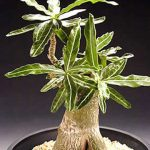 Adenium Obesum Snowbell
