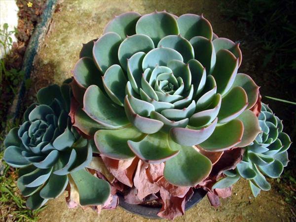 Aeonium Canariense Cuneatum