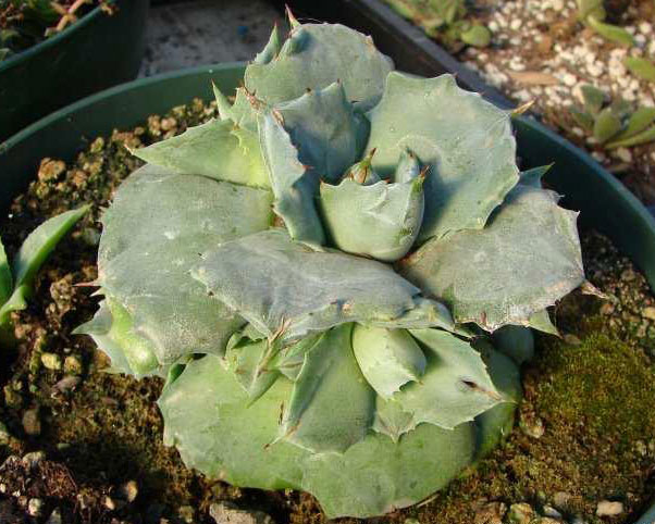 Agave Potatorum Zuccarini