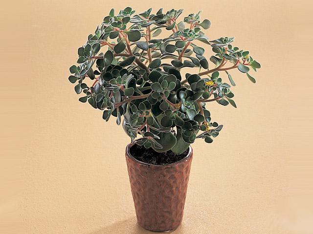 Aichryson Domesticum