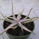 Aloe Deltoidea Brevifolia