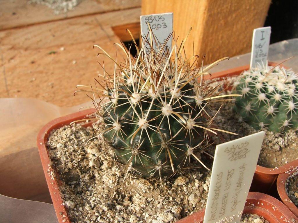 Ancistrocactus Scheeri Hipolito Coahuila
