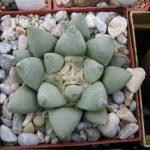 Ariocarpus Retusus ssp. Retusus
