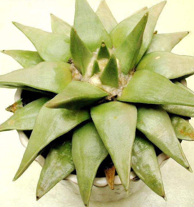 Ariocarpus Retusus subsp. Trigonus