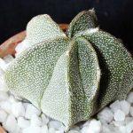 Astrophytum Myriostigma Multicostatus