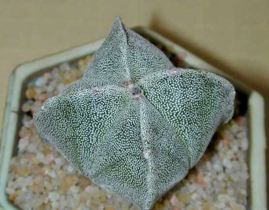 Astrophytum Myriostigma Quadricostum