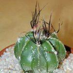 Astrophytum Senilis