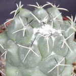 Coryphantha Maiz Tablascensis