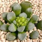 Crassula Mesembrianthemopsis