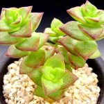 Crassula Perforata