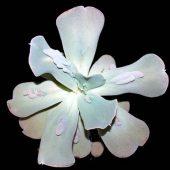 Echeveria Gibbiflora Carrunculata