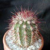 Echinocereus Chloranthus Russanthus
