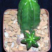 Echinocereus Morricalii
