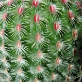Echinocereus Pectinata