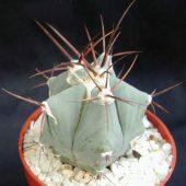 Echinocereus Platyacanthus