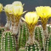 Echinopsis Aurea v. Schaferi