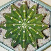 Echinopsis Derenbergii