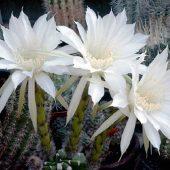 Echinopsis Eiriesii