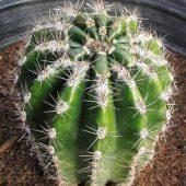 Echinopsis hybrid Afterglow