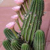 Echinopsis hybrid Los Angeles