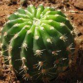 Echinopsis hybrid Scheherazade
