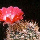 Echinopsis Lobivia Ferrugienea