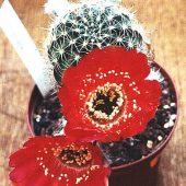 Echinopsis Schieliana