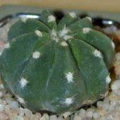 Echinopsis Semidenudata