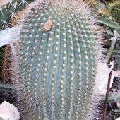 Echinopsis Soehrensia Oeropepon