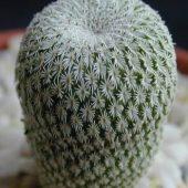 Epithelantha Micromeris Unguispinus