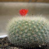 Eriocactus Haselbergii