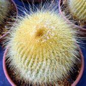 Eriocactus Leninghausii