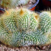 Eriocactus Leninghausii Cristata