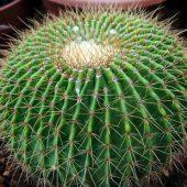 Eriocactus Schumannianus