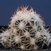Escobaria Robbinsorum