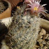 Escobaria Sneedii subsp. Sneedii