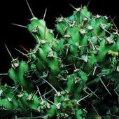 Euphorbia Bussei