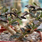 Euphorbia cap. Saintemariensis