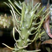 Euphorbia Caput Medusae