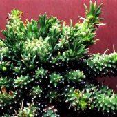 Euphorbia Davyi