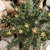 Euphorbia Decepta