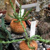 Euphorbia Decidua Bally et Lach