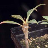 Euphorbia Didieroides