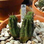 Euphorbia Enterophora Crassa