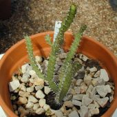Euphorbia Evansii