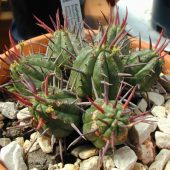 Euphorbia Ferox
