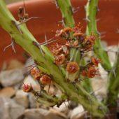Euphorbia Gemmea
