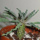 Euphorbia Haudramatica